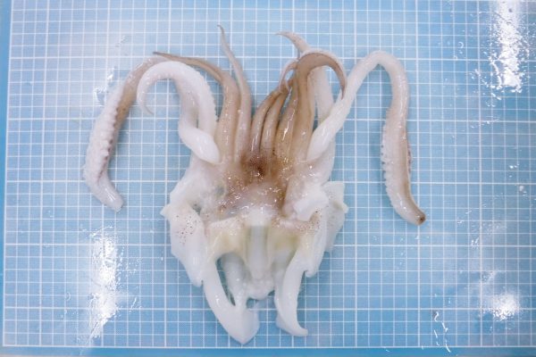 Soft Cuttlefish Tentacle
