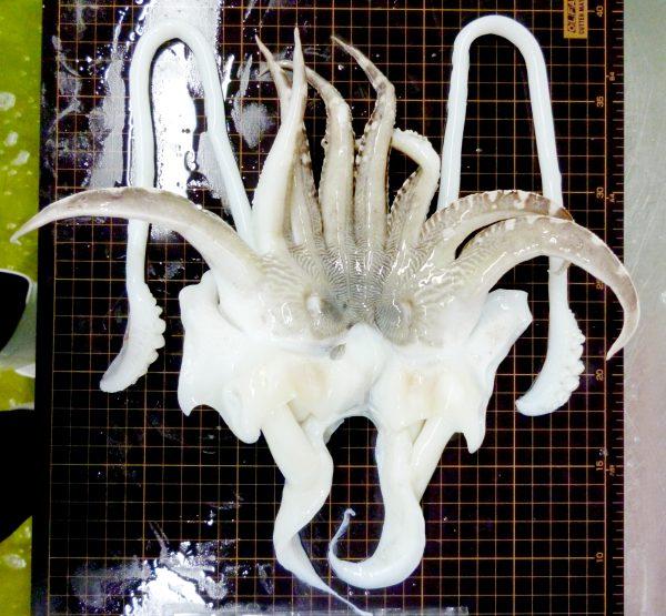 cuttlefish tentacle frozen